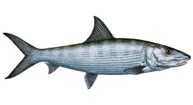 Know Your BoneFish